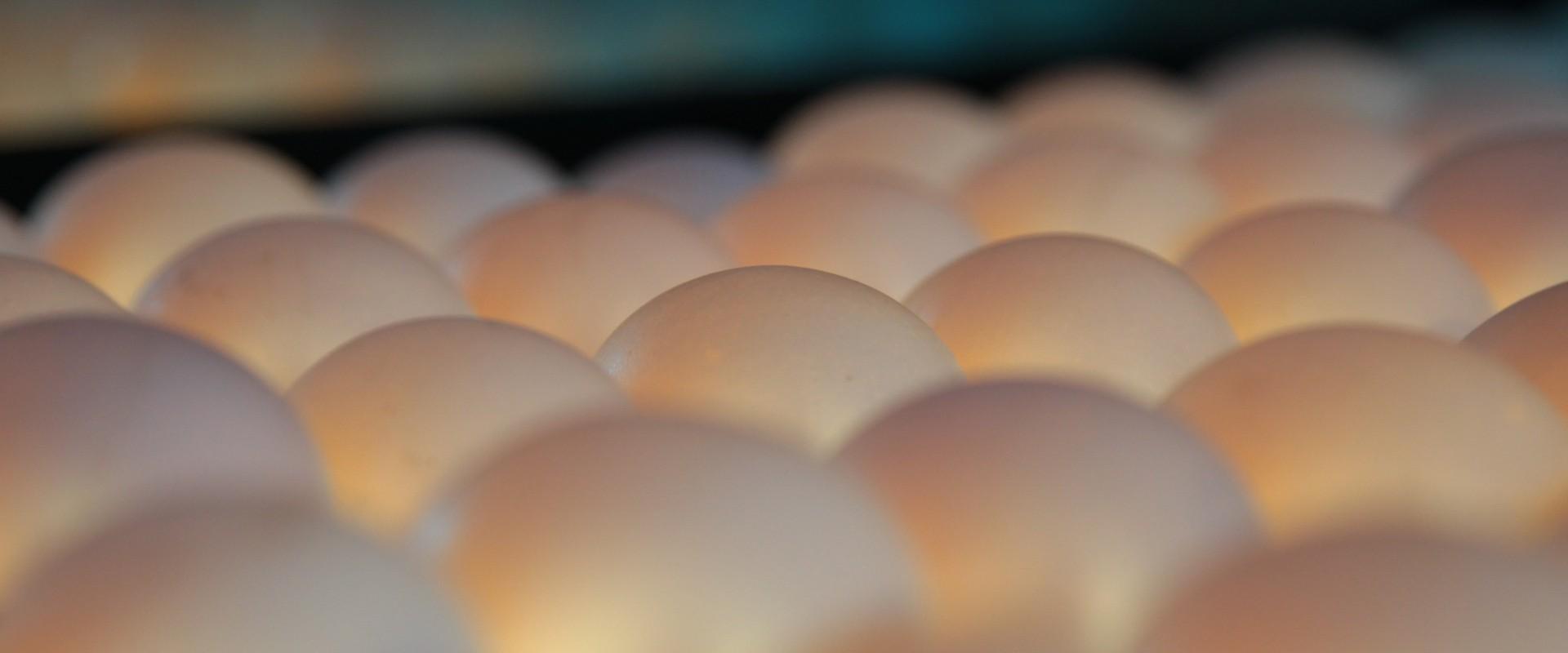 Foto: Eier werden in der Sortierung durchleuchtet