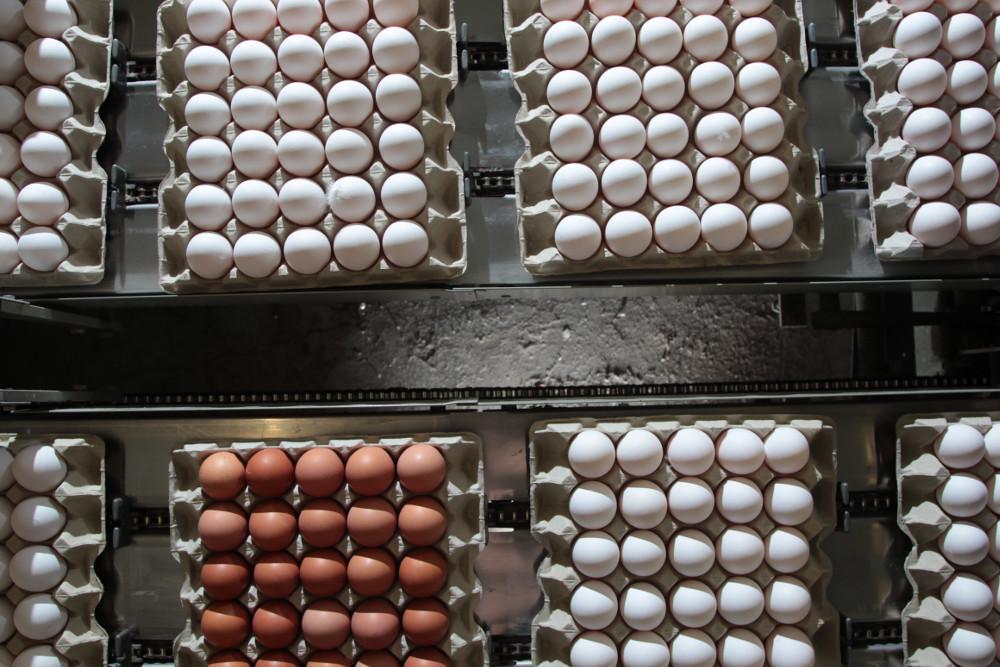 Foto: Eier-Sortierung