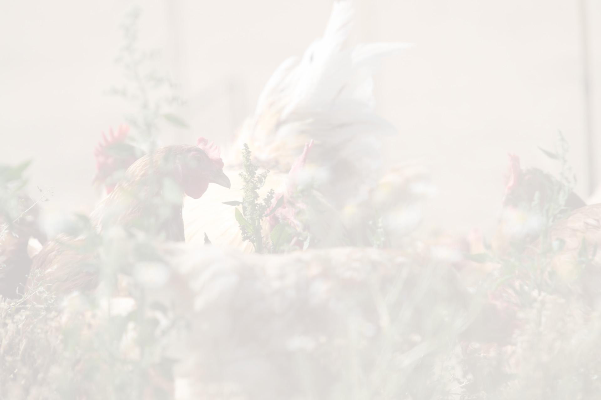 Fotohintergrund: Hühner in der Wiese